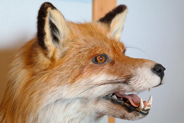 Zaujímavé fakty o líškach